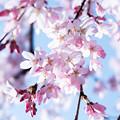 写真: Sakura-0575
