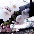 Photos: Sakura-0576