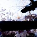 Photos: Sakura-0581