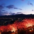 早春の松田桜の夕暮れ