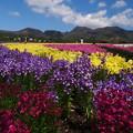 くじゅう連山と花畑