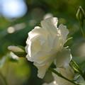 白薔薇の願い