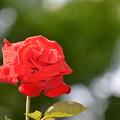 写真: 最後の春薔薇?