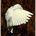 写真: My Fieldの野鳥達 チュウサギ