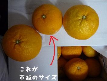 04_04愛媛の甘夏