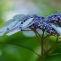 集真藍の花