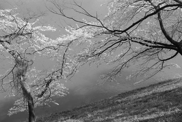 桜舞う風の中♪