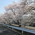 写真: アキレス山辺工場前の桜並木2015.3.30