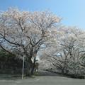 写真: アキレス山辺工場前の桜並木?2015.3.30