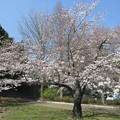 写真: 足利公園の桜2015.3.30