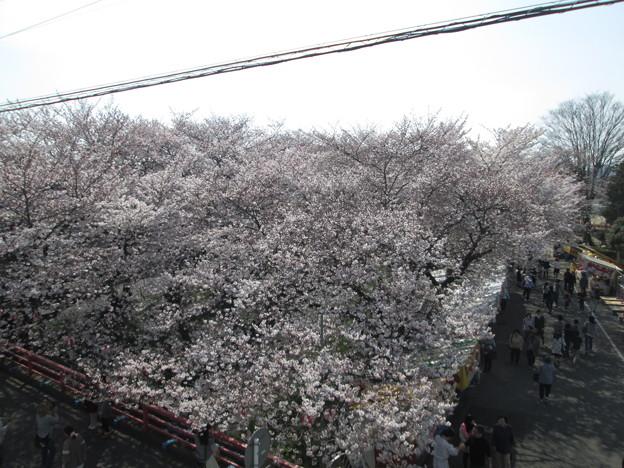 Photos: 足利千歳町袋川の桜2015.3.30