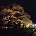 写真: 鑁阿寺の夜桜2015.4.2