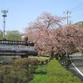 写真: 赤城国際カントリークラブ入口の八重桜2015.4.27