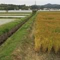 Photos: 麦畑と水田