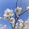 Photos: 麗らかな梅日和 ♪