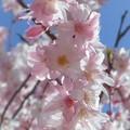 写真: 早咲きの薄紅糸桜が八分咲き♪