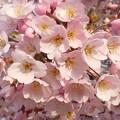 春のうららの千光寺山 ♪
