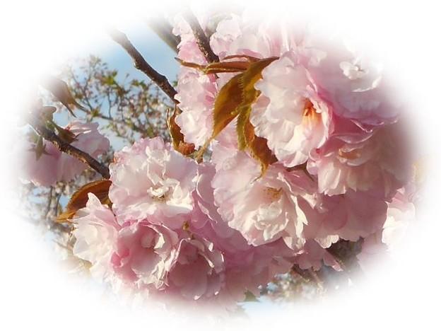 麗らかな春色の八重桜 ♪
