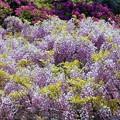 フジの花盛り in 千光寺山