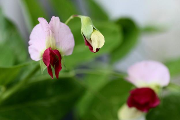 豆の花(1)