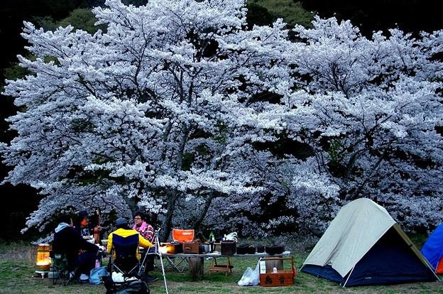 Photos: 夜桜キャンプ