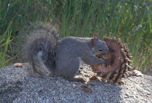 Eastern Gray Squirrel (1)