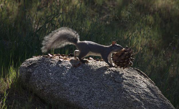 Eastern Gray Squirrel (5)