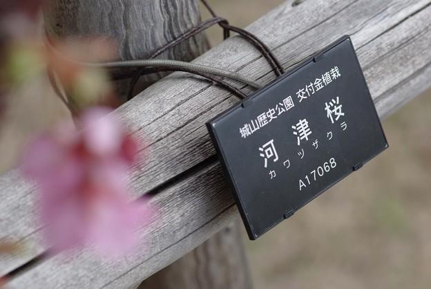 IMGP9000上関町、城山公園河津桜交付金