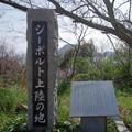 Photos: IMGP4224周防大島町、五条の千本桜4