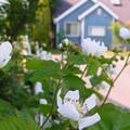 Photos: ボイソンベリーの花