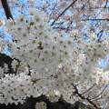 Photos: 15.03.29.祥雲寺(渋谷区広尾5丁目)