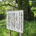 小島のエゾヤマザクラ(木曽町)