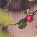 かりんの花
