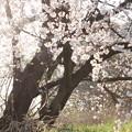 崖の上の桜