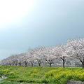 筑前町草場川の桜並木(1)