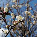 Photos: まだ早い舞鶴公園の梅(2)