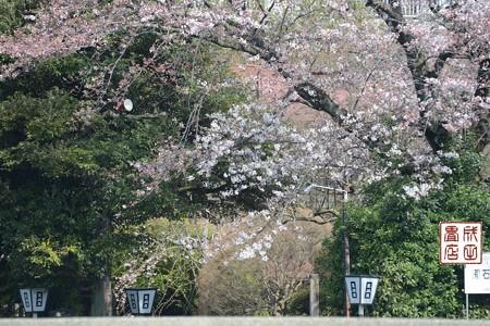 高橋屋さんの桜02