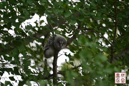 フクロウのヒナ03