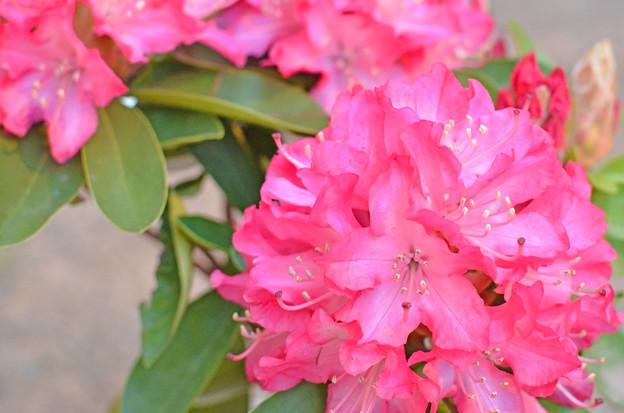 石楠花の鉢植え、買いました!