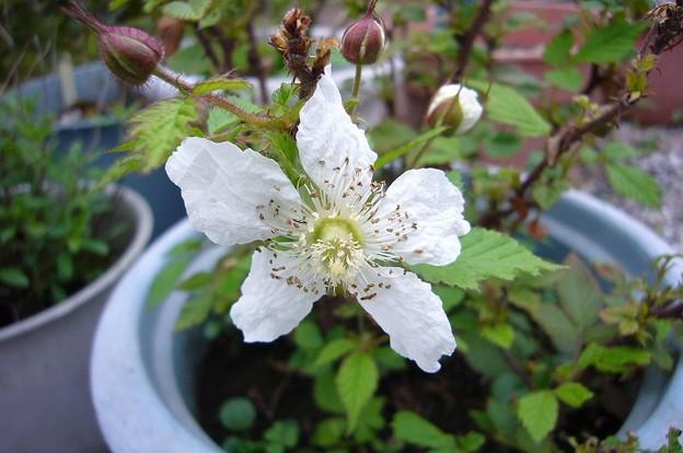 150419-1 ラズベリーの花