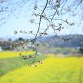 菜の花畑とソメイヨシノ(1)