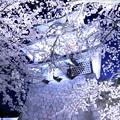 金沢城(菱櫓)と満開の桜(3)