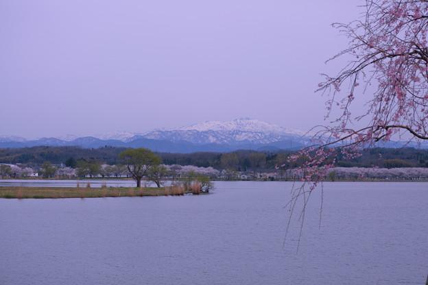 Photos: 木場潟 白山と桜