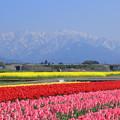 チューリップ畑と立山連峰(北アルプス)  菜の花畑