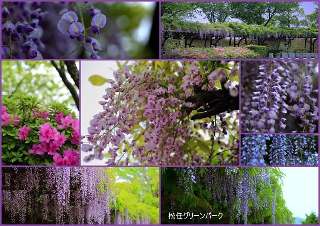 Photos: 藤棚の公園  松任グリーンパーク