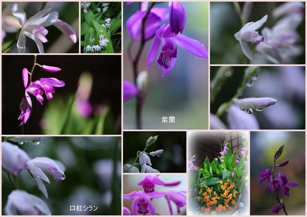紫蘭のコラージュ