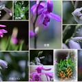 Photos: 紫蘭のコラージュ