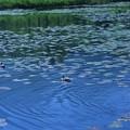 Photos: いもり池4