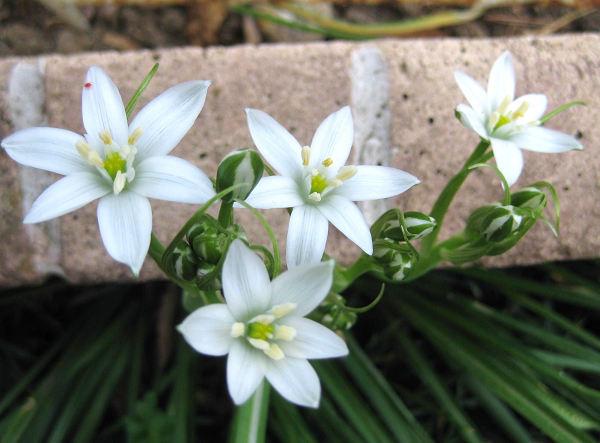 オオアマナは英名で Star of Bethlehem (ベツレヘムの星)ユリ科オーニソガラム属の耐寒性の球根植物。s