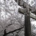 姫路神社の鳥居と桜